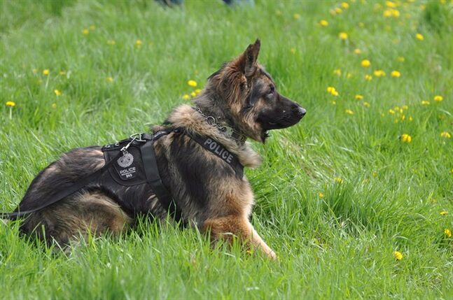 Quanto the police dog is shown in an Edmonton Police Service handout photo. A man has pleaded guilty to animal cruelty in the death of Quanto. Paul Joseph Vukmanich repeatedly stabbed the dog last October while he was fleeing from police.THE CANADIAN PRESS/HO-Edmonton Police Service