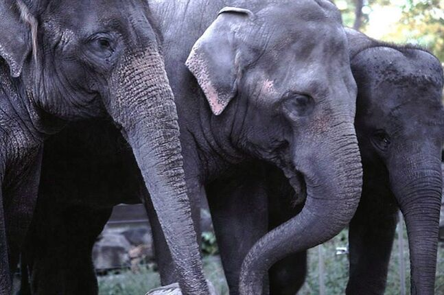 Kamala, Swarna and Maharani are seen in this undated handout photo. THE CANADIAN PRESS/HO, Calgary Zoo