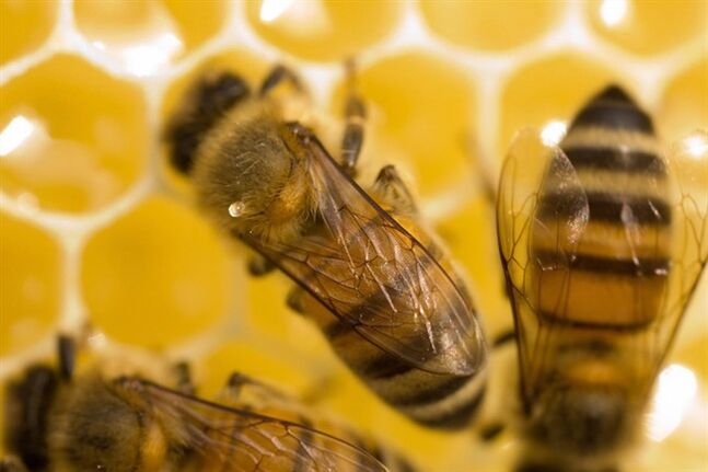 A bee drinks honey from a honeycomb at The Boulders Resort in Scottsdale, Ariz., on Aug. 16, 2012. THE CANADIAN PRESS/AP/The Arizona Republic, Michael McNamara)