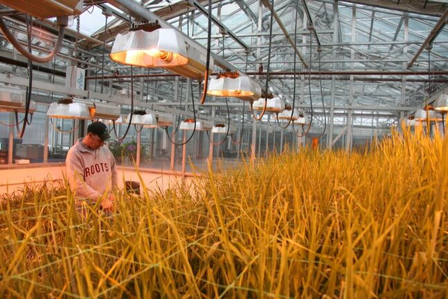 In this 2008 file photo, a Brandon Research Centre employee waters several slats of barley plants at one of the facility's test nurseries.