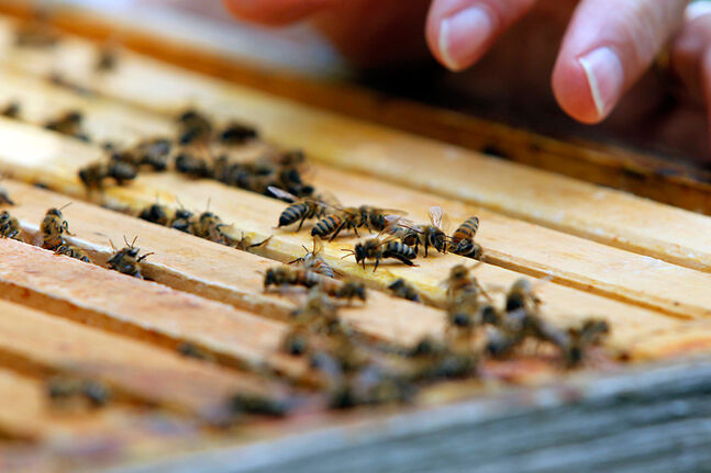 Some Manitoba beekeepers have sent bees away to warmer climates for the winter months. After last winter, the province's beekeepers suffered their largest average colony loss on record.