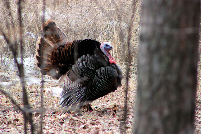 A wild turkey is shown in a wooded area in Souris recently.
