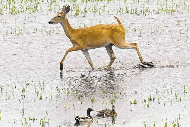A white-tailed deer steps through a flooded field near Brandon past a pair of mallard ducks while foraging on Sunday afternoon.