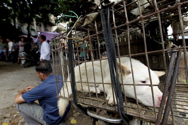 FILE - In this June 23, 2013 file photo released by the Human Society International, a dog waits to be sold for meat in a market in Yulin, in southern China's Guangxi Zhuang Autonomous Region. Residents in the southern Chinese city that's come under fire for an annual summer solstice festival in which thousands of dogs are slaughtered for food have held their feasts early to avoid attention. (AP Photo/Humane Society International, File) CHINA OUT