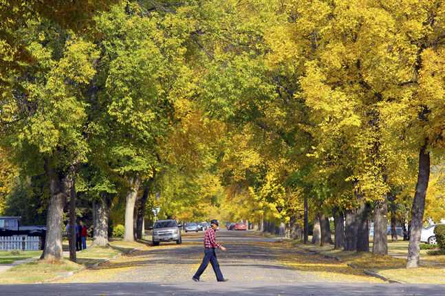 A pedestrian is framed by colourful fall foliage as he crosses 21st Street at College Avenue recently.