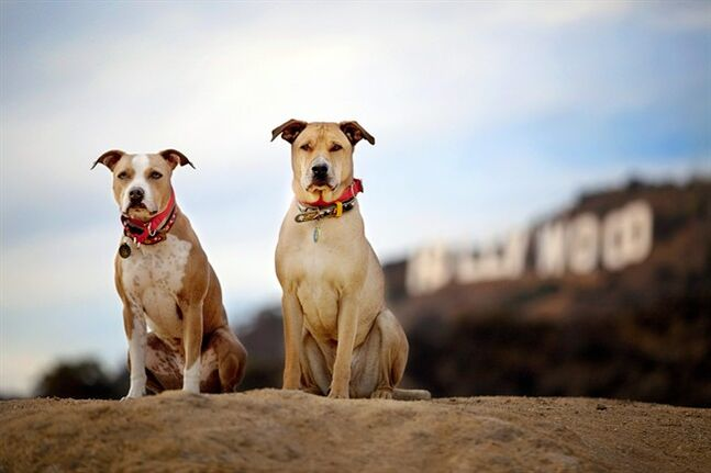 This December, 2013 photo provided by pet photographer Lori Fusaro shows her 'clients,' Chevy and Chase, in front of the Hollywood Sign in Los Angeles. Fusaro is set to publish a book called