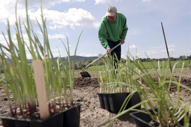 Bill Daligian prepares a bed of onions at the Canoe Meadows Community Garden in Pittsfield, Mass., Monday May 19, 2014. A colder than normal spring in New England has delayed the growing season. (AP Photo/The Berkshire Eagle, Ben Garver)