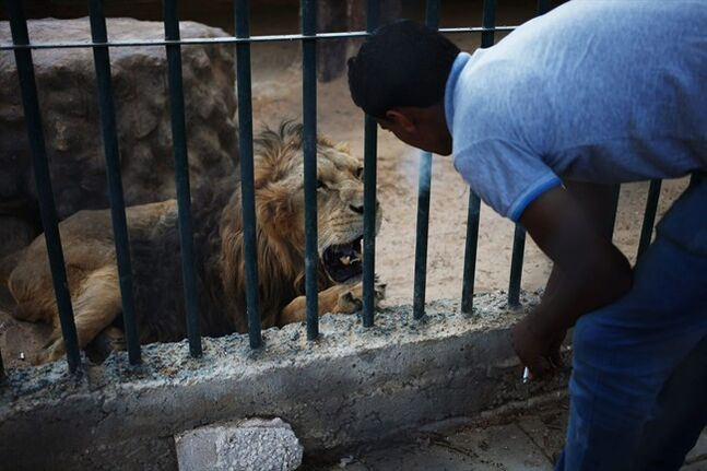 In this Friday, Aug. 9, 2013 photo, Mahmoud, a zoo keeper, blows cigarette smoke in the face of a lion, to provoke and make him roar as an attraction for visitors at a zoo in Amman, Jordan. Dog breeding coupled with dognapping is a thriving business in Jordan, where lax laws call for only a $7 fine for violators and police remain hesitant to pursue those suspected of animal abuse. Activists have campaigned for years for increased penalties, but lawmakers seem uninterested to pursue it in a culture where animal abuse remains rampant. (AP Photo/Mohammad Hannon)