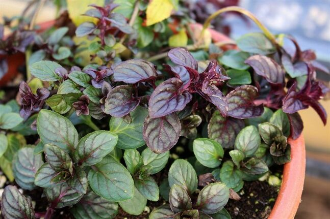 This Wednesday, Jan. 28, 2014 photo shows chocolate mint peppermint growing in a pot in New Paltz, N.Y. With Valentine's Day coming up, thoughts naturally turn to chocolate. Chocolate mint peppermint is a chocolate-y alternative. (AP Photo/Lee Reich)
