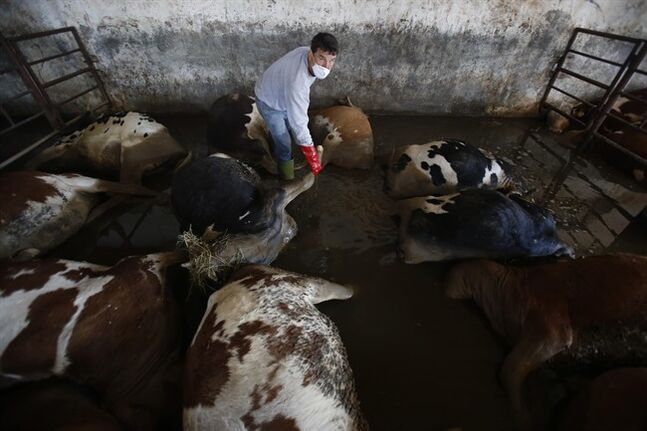 Bosnian worker prepares to take away dead cows from a farm near the Bosnian town of Bosanski Samac along river Sava, 200 kms north of Bosnian capital of Sarajevo, on Tuesday, May 20, 2014. A new calamity emerged Tuesday in the flood-hit Balkans even as emergency workers battled overflowing rivers and evacuated thousands tons of drowned livestock were posing a health hazard. With the rainfall stopping and temperatures rising, the withdrawing floodwaters revealed a harrowing sight: thousands of dead cows, pigs, sheep, dogs and other animals that were left behind after their panicked owners fled rapidly advancing torrents. .(AP Photo/Amel Emric)