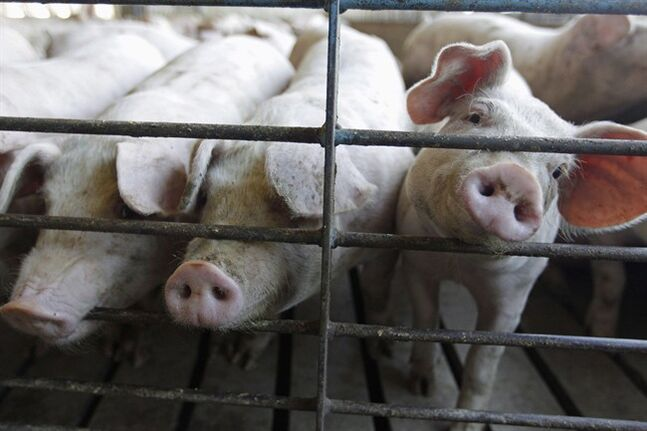 This June, 28, 2012 photo shows hogs at a farm in Buckhart, Ill. THE CANADIAN PRESS/AP, M. Spencer Green