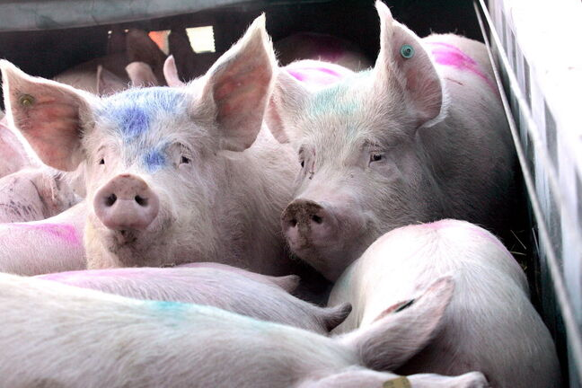 A pig virus that is deadly to piglets and young animals has been found in Westman.