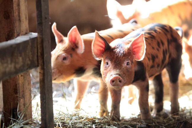 A Manitoba biotech company says it is about three months away from producing an effective vaccine to combat a highly contagious and deadly virus that has killed millions of baby pigs in North America.