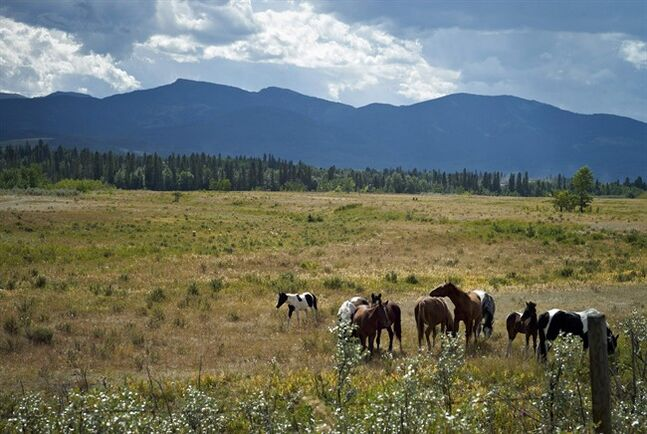 Horses graze on the Eden Valley Reserve, Alta., on Aug. 25, 2011. The Alberta government says it has counted 880 wild horses in the foothills this year, about 100 fewer than 2013. THE CANADIAN PRESS/Jeff McIntosh