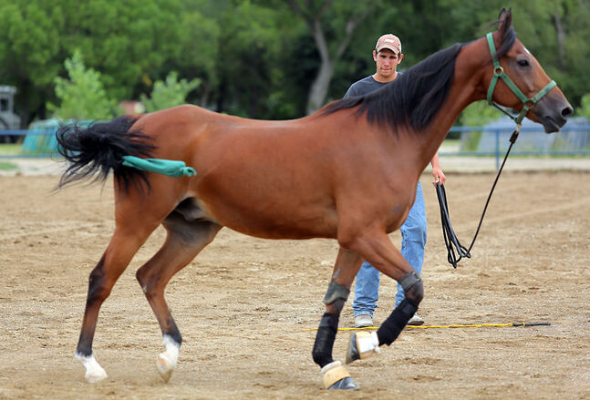 Matt Krohn lets one of his Arabian horses stretch its legs in the outdoor arena at the Keystone Centre on Thursday afternoon. Krohn, who works as a groomer along with his horse-training brother and father, travelled from Taylor, Texas, for next week's Canadian National Arabian and Half-Arabian Championship Horse Show.