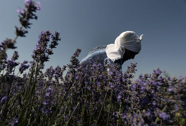 In this July 6, 2014 photo, a worker reaps lavender flowers during harvest season near village of Tarnichane in Bulgaria's