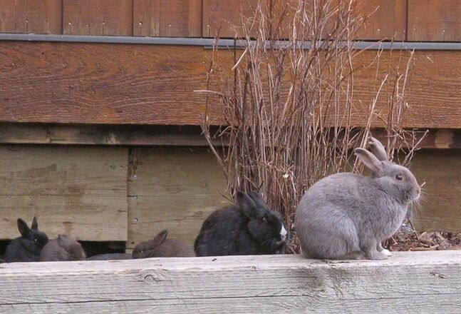 A few of Canmore's feral rabbits are pictured Nov. 22, 2011. THE CANADIAN PRESS/Bill Graveland