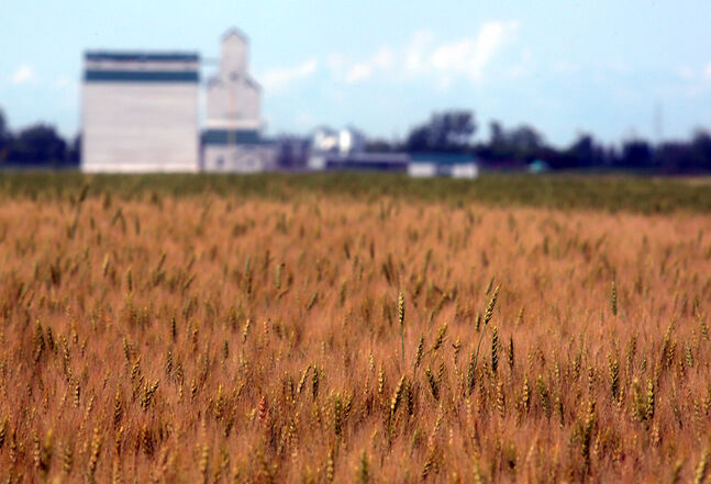 A crop of wheat begins to mature in a field south of Justice recently. One Westman farmer remembers many years when winter wheat was off by the beginning of August.