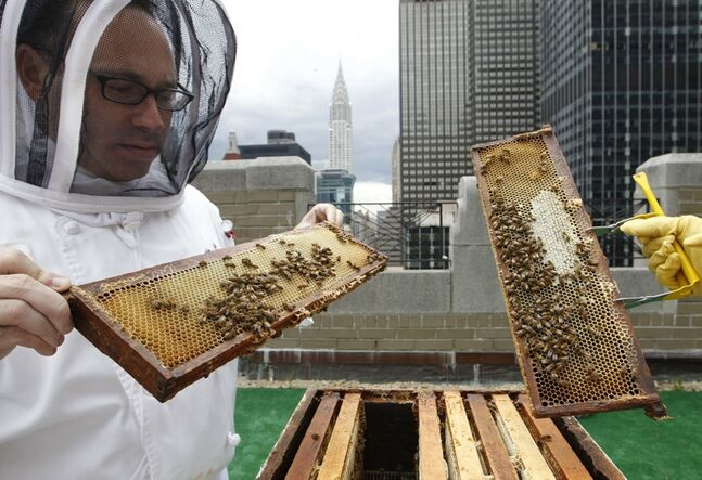 Waldorf Astoria hotel sous chef Josh Bierman inspects honey bees residing in hives on the hotel's 20th floor roof in New York.