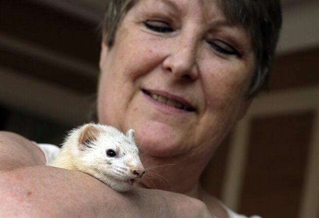 Candace Lucas poses for photos with her pet ferret Tink, in her New York apartment, Wednesday, June 4, 2014. For 15 years, ferrets in New York City have been living in the shadows, outlawed under Mayor Rudolph Giuliani now there's a bit of hope for the slinky creatures. Bill de Blasio's administration, which says it could hold a hearing by the end of 2014 on a measure to make ferrets legal once again. (AP Photo/Richard Drew)
