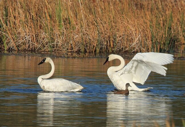 A trumpeter swan stretches its wings on Potter Marsh on Sunday, Sept. 15, 2013, in Anchorage, Alaska. The honking of trumpeter swans has grown a bit louder in Alberta. The province says the big bird is doing well enough to be taken off the province's threatened species list. THE CANADIAN PRESS/AP Photo/Dan Joling