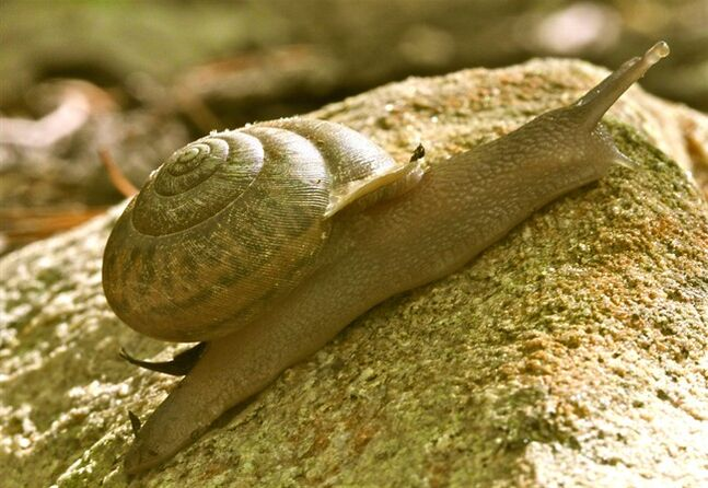 This April 27, 2012 photo shows a snail on the property of a private residence in New Market, Va. Snails are more adapted to dry climates than slugs, because of their ability to find relief from the heat by withdrawing into their shells. Making your yard less hospitable to destructive snails and slugs is generally more effective than using chemicals. (AP Photo/Dean Fosdick)