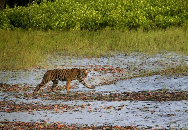 In this Wednesday, March 19, 2014, photo, a Royal Bengal tiger prowls in Sunderbans, at the Sunderban delta, about 130 kilometers (81 miles) south of Calcutta, India. An Indian fisherman says a tiger has snatched a man off a fishing boat and dragged him away into a mangrove swamp. (AP Photo/ Joydip Kundu)