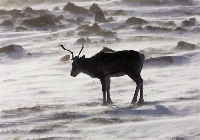 A wild caribou roams the tundra near The Meadowbank Gold Mine located in the Nunavut Territory of Canada on March 25, 2009. THE CANADIAN PRESS/Nathan Denette