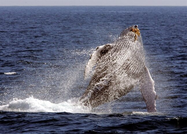 A whale breaches n the channel off the town of Lahaina on the island of Maui in Hawaii on Jan. 23, 2005. THE CANADIAN PRESS/AP, Reed Saxon