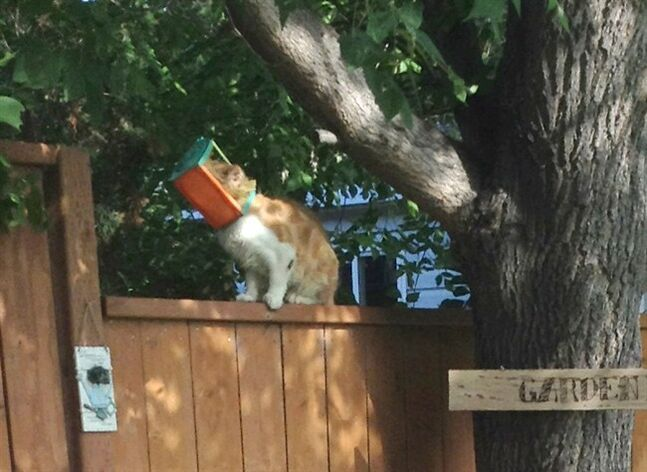 A cat with its head stuck in a small bird feeder, nicknamed Butterscotch, is shown in Brandon, Man., Wednesday, July 23, 2014 in a handout photo. THE CANADIAN PRESS/HO-Colleen Gareau