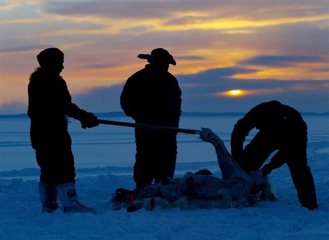 Inuit hunters skin a polar bear on the ice as the sun sets during the traditional hunt on Frobisher Bay near Tonglait, Nunavut, Feb.2, 2003. Northern wildlife officials will meet in Quebec's arctic region tomorrow to discuss quotas on the world's last unregulated polar bear hunt.Hunters who kill bears from the south Hudson Bay population, which includes Quebec, Ontario and Nunavut, have a voluntary limit of 60 bears a year.THE CANADIAN PRESS/Kevin Frayer