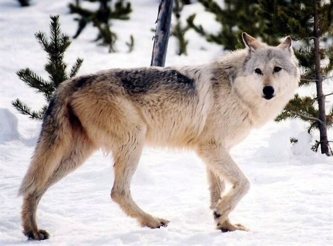 This undated file image provided by Yellowstone National Park, Mont., shows a gray wolf in the wild. It was a successful experiment in recovering an endangered species - too successful, for some, and the U.S. Fish and Wildlife Service now ponders lifting protections for transplanted Canadian grey wolves across the United States. THE CANADIAN PRESS/AP-National Park Service, MacNeil Lyons, File