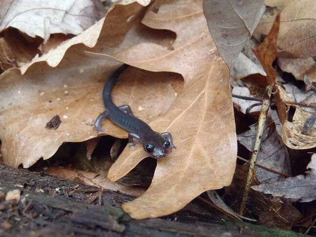 This March 23, 2012 photograph provided by the University of Maryland shows a Northern gray-cheeked salamander of the native Appalachian mountain range salamander species that has gotten significantly smaller. Scientists say salamanders in the mountain range are getting smaller in response to climate change. (AP Photo/University of Maryland, Nicholas M. Caruso)