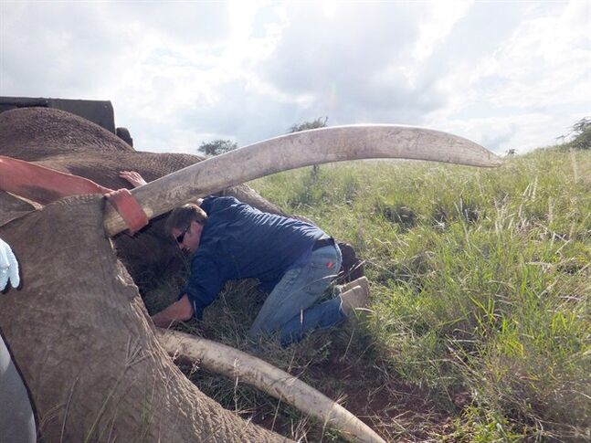 Jake Wall, a PhD geography student at the University of British Columbia, helps outfit an elephant with a satellite GPS tracking collar in northern Kenya in a handout photo. Wall, who works with the conservation group Save the Elephants, has designed a system to crunch the live satellite data and alert rangers to curb poaching and alert rangers to elephants in distress. THE CANADIAN PRESS/HO-Jake Wall