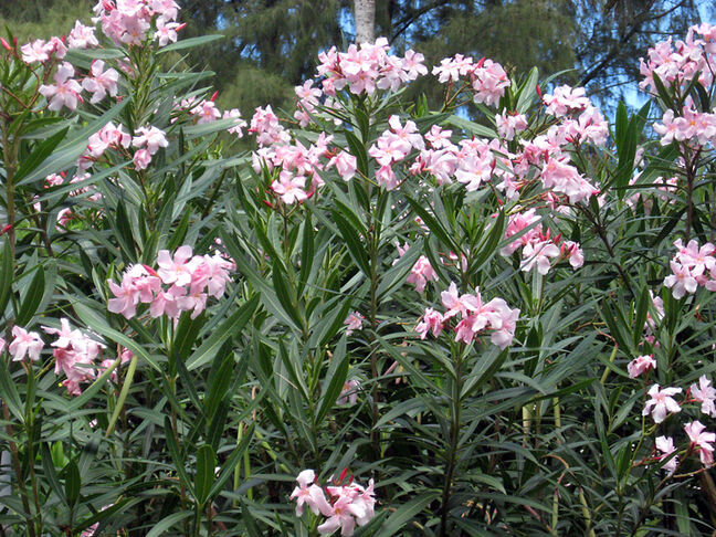 Oleanders are quite tall shrubs when grown outdoors. They are fast growing and have attractive foliage.