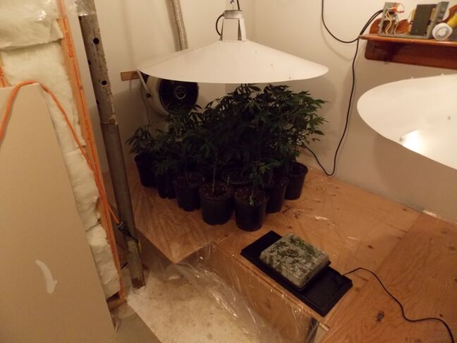 Some 53 marijuana plants were seized from a Wellwood, Man., home on Tuesday.