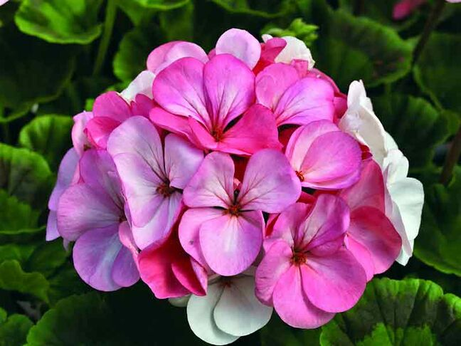 Geranium 'Pinto Premium White to Rose'