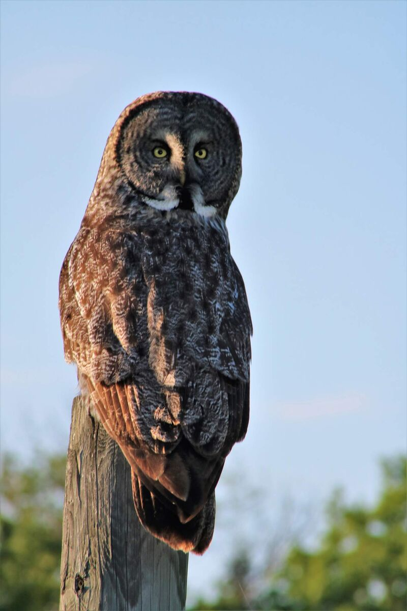 An owl looks back over his shoulder at Riding Mountain National Park. (Image by Debora Crammond)