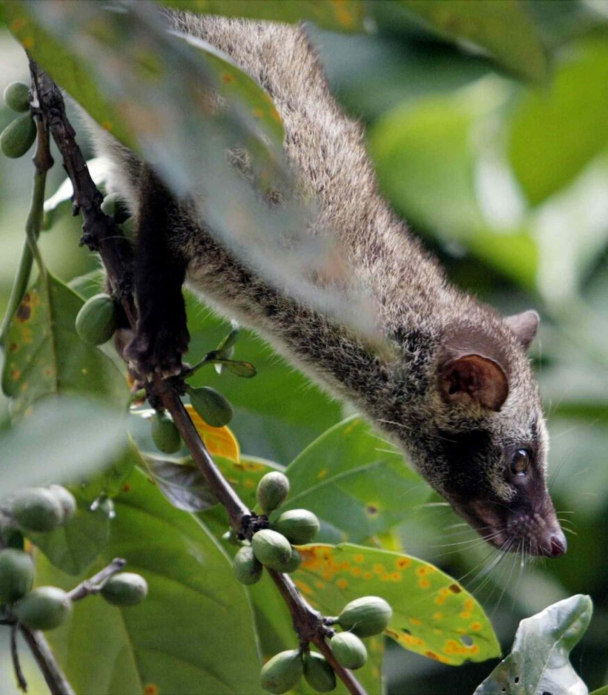6. All carnivorous mammals of the family Viverridae, including, but not limited to, civet (pictured), mongoose, and genet.  (BULLIT MARQUEZ / Associated Press)