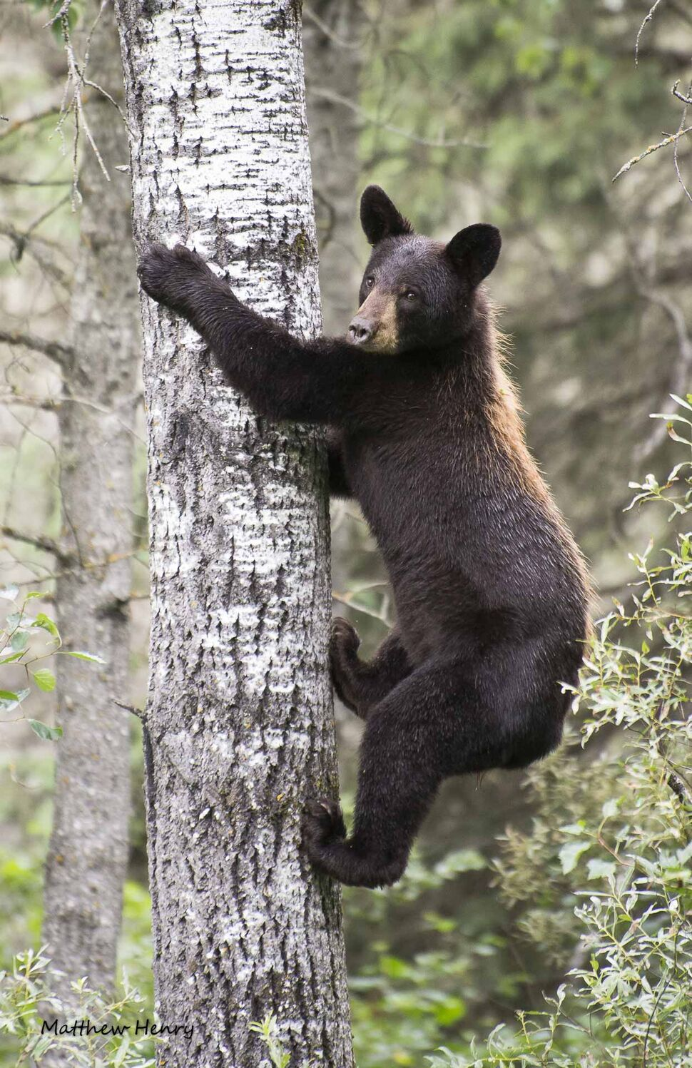A young bear Matthew Henry got a photo of while in Riding Mountain National Park last year. After a few minutes, the bear decided Henry and his friend weren't a threat and continued to climb up the tree, where it took a nap for another 15 minutes. (Matthew Henry photo)