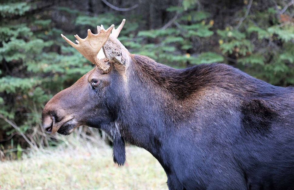 A moose at Riding Mountain National Park. (Image by Debora Crammond) (Image by Debora Crammond)