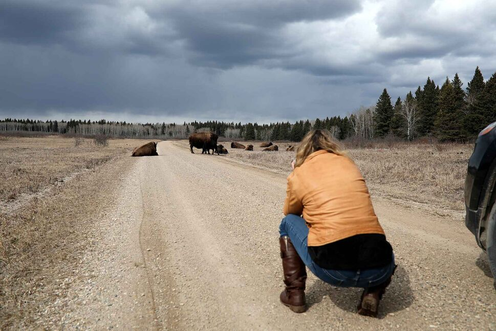 Dauphin based photographer Debora Crammond photographs plains bison near Lake Audy in Riding Mountain National Park while out photographing on a warm April day. (Tim Smith/The Brandon Sun)