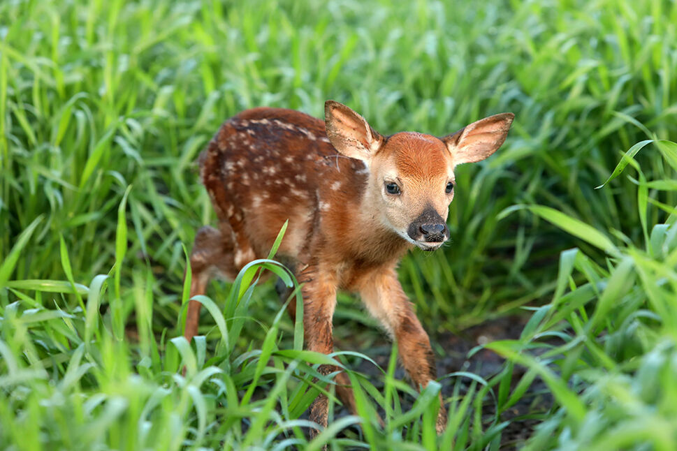 FRESH NEW WORLD A newborn fawn explores its surroundings in a field while its sibling rests in the long grass where they were born. (Tim Smith/The Brandon Sun)