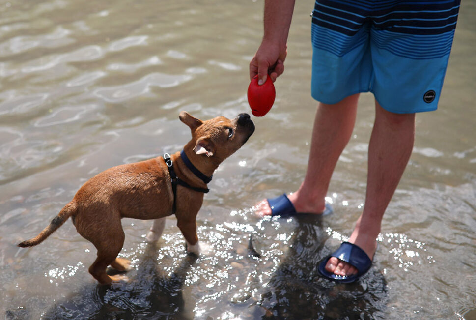 Hank, a french bulldog/french terrier mix, waits for a toy to be thrown for him in the creek at Dauphin's Countryfest 2019 on a scorching hot Friday afternoon. (Tim Smith/The Brandon Sun)