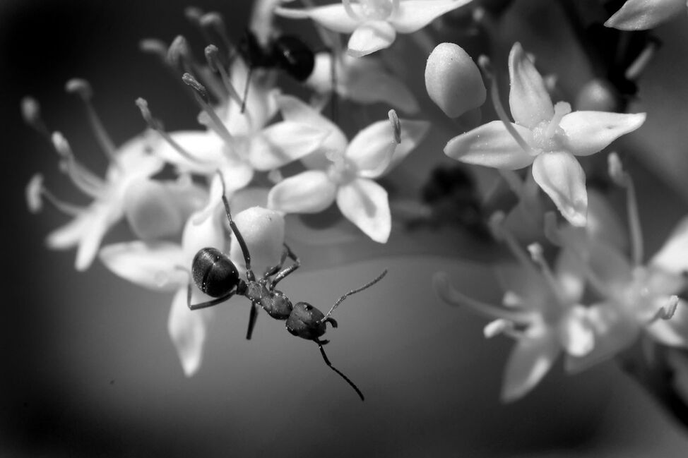 Ants gather pollen from spring blossoms at the Brandon Hills on Monday afternoon.