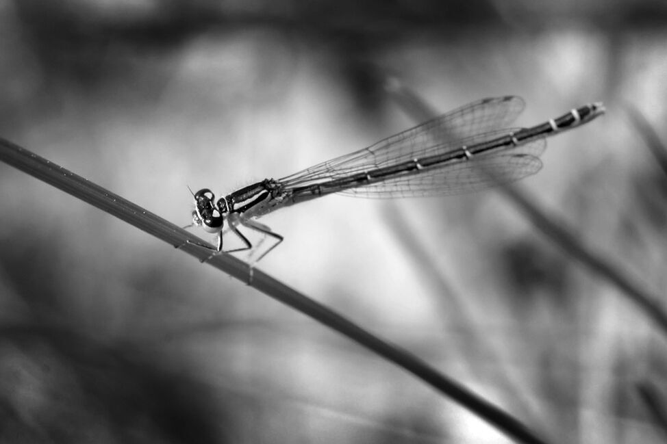A damselfly holds onto a blade of grass as it suns itself in the afternoon light at the Brandon Hills.