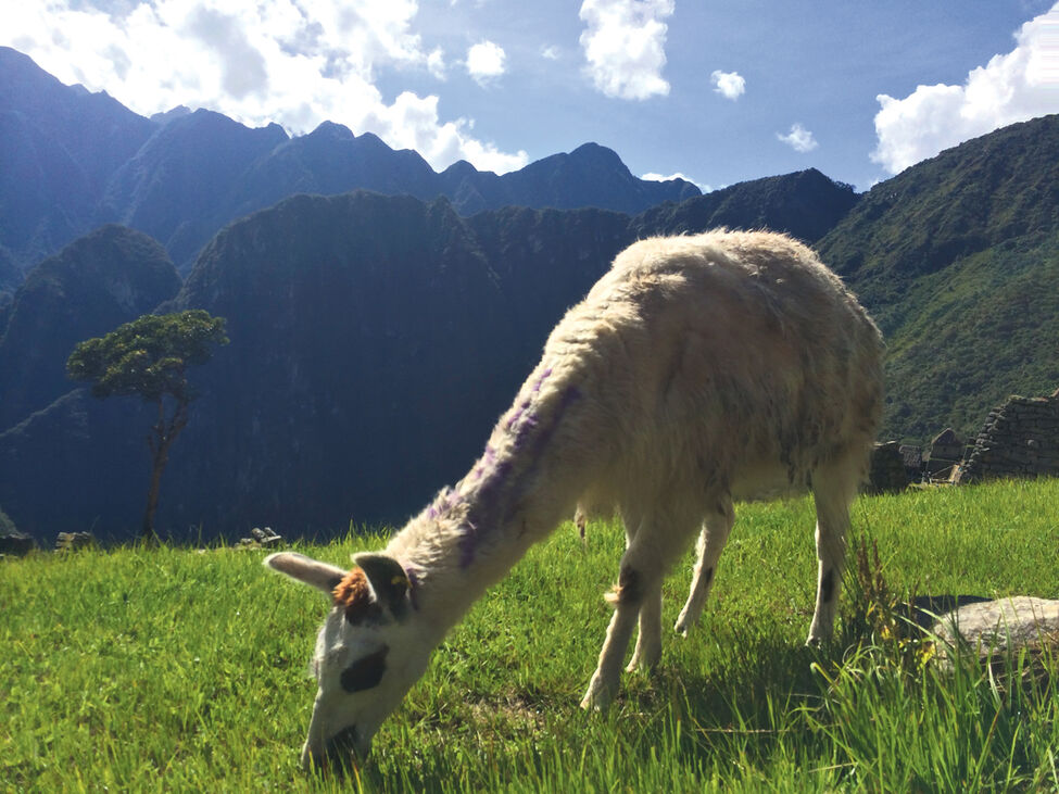 A llama grazes on a grassy terrace at the Inca ruin of Machu Picchu, high in the Peruvian Andes.