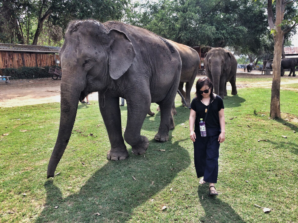 Some of the 14 elephants currently at the Elephants World sanctuary walk with a visitor. The facility lets people interact with the animals in an ethical, cruelty-free way and helps educate about Thailand's national animal, as well.