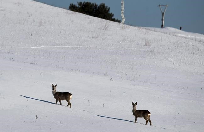 Roe deer stand on a snowy field in temperatures of -7C near the town of Ignalina, some 120 kilometres north of the capital Vilnius, Lithuania, Monday, March 5, 2018. Governments everywhere claim they use science to manage wildlife, but newly published research questions whether they actually do. THE CANADIAN PRESS/ AP/Mindaugas Kulbis