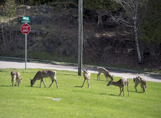 Deer graze on a grassy area in a Saint John, N.B. neighbourhood on May 5, 2018. The New Brunswick government will launch a controlled bow hunt within the City of Saint John this fall in an effort to reduce the number of deer becoming a nuisance within populated areas. A public meeting is set for Wednesday evening to explain the program to residents of the Millidgeville area of Saint John who have been complaining about deer roaming the streets and destroying gardens. THE CANADIAN PRESS/Andrew Vaughan